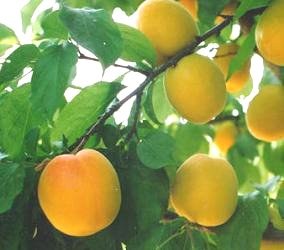 the MAGICAL APRICOT.                     BEST FRUIT NATURE INVENTED