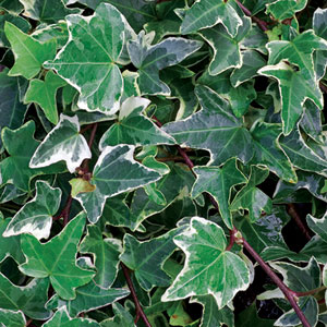 IVY for fences, grows fast, covers                     well, allows you to have cheap fencing material like                     wire or cyclone