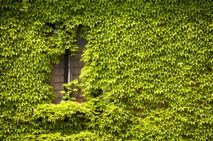 English Ivy is fast growing. Clip                     tendrils edges occas.