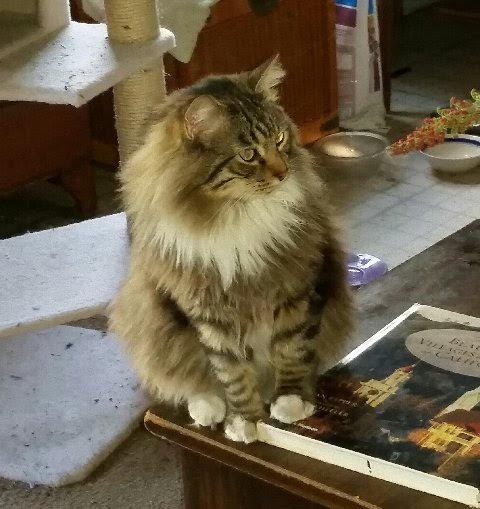 Rufus the Reseda MAINE COON says hello
